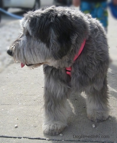 Close up front view - A grey with black and white Polish Lowland Sheepdog is walking down a sidewalk and it is looking to the left. Its mouth is open and its tongue is out.