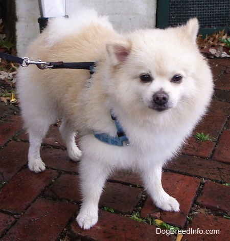Front side view - A fuzzy cream Pomeranian is standing on a brick surface and it is looking forward.
