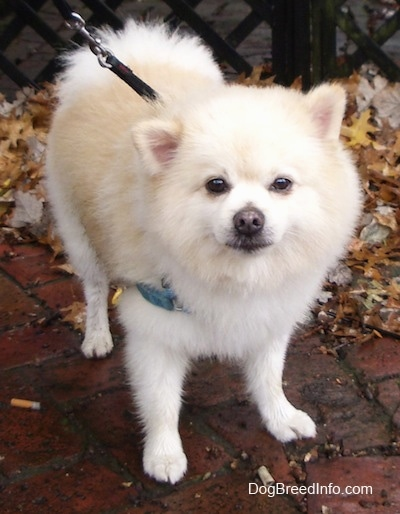 Front view - A cream Pomeranian is standing on a brick porch and it is looking forward.