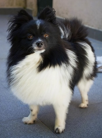 Close up front side view - A furry black and white Pomeranian is standing on a carpet and it is looking up. It has longer fringe hair on its ears and tail.