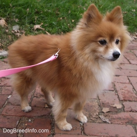 Close up side view - A fluffy little red with white Pomeranian is standing across a brick walkway and it is looking to the right.