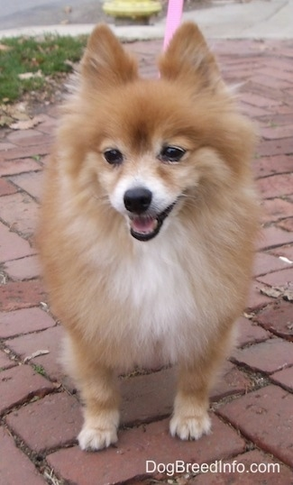Front view - A fuzzy little red with white Pomeranian is standing on a brick walkway and it is looking forward. Its mouth is open and it looks like it is smiling.