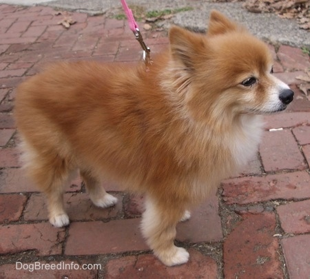 The right side of a red with white Pomeranian that is standing on a brick walkway facing the right. Its ears are slightly pinned back.