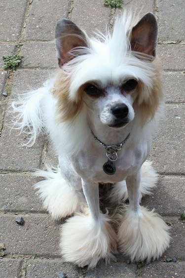 Front view - A white with tan Powderpap dog is sitting on a brick walkway outside looking up. It has longer hair on its head, paws and tail and the rest of its coat is shaved to the skin,