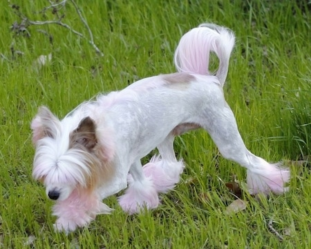 A white with tan Powderpap is walking across a grass surface and it is sniffing across a field. It has longer hair on its head and pink fur on its paws and the end of its tail.