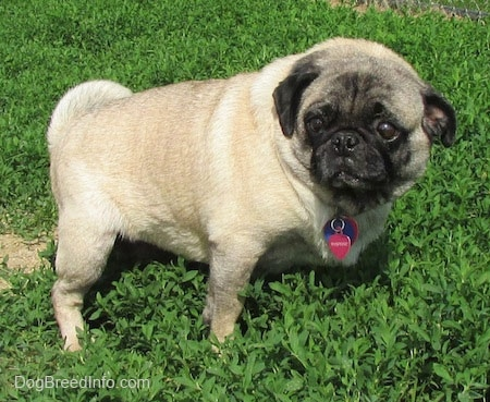 how to get a siloncon fawn pug