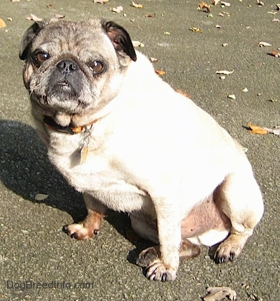Front side view - A tan with black Pug is sitting on a stone surface and it is looking forward. There are fallen leaves behind it.