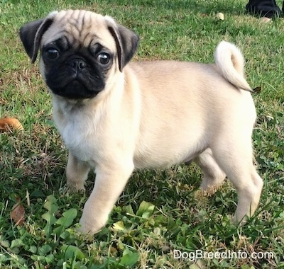Pug Dog Breed Pictures 3