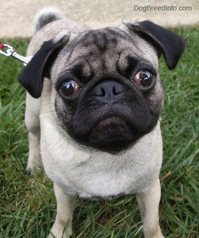 Close up front view - A wrinkly-faced, tan with black Pug puppy is standing in grass looking forward.