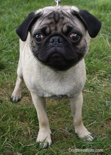 Close up front view - A tan with black Pug puppy is standing in grass and it is looking forward.