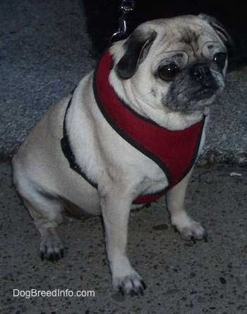 Right Profile - A tan with black wrinkly faced Pug is sitting outside on the ground looking to the right. It is wearing a red vest.