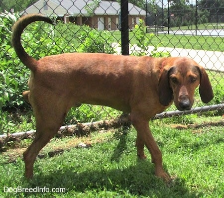 Side view - A Redbone Coonhound dog is standing in grass and it is peeing on a chainlink fence.