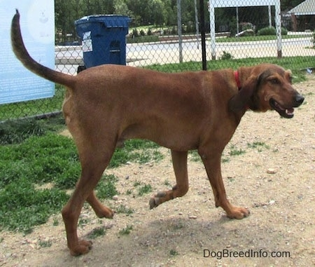 The back right side of a Redbone Coonhound that is walking across a dirt surface. It is looking to the right and its mouth is open.
