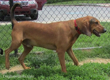 The right side of a Redbone Coonhound wearing a red collar standing in grass. There is a chainlink fence behind it. It is looking to the right and its mouth is open and tail is curled up into the air. The dog is peeing.