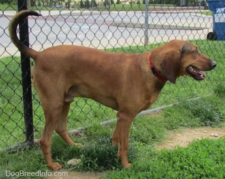 A Redbone Coonhound is standing in grass. It is panting and it is looking to the right. There is a chainlink fence behind it and the dog's tail is up high in the air.
