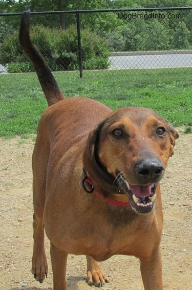 Front view - A Redbone Coonhound is walking down a dirt surface, it is looking forward, its mouth is open and it looks like it is smiling.