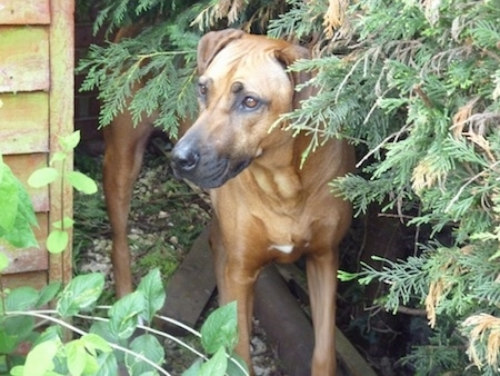 A Rhodesian Ridgeback is standing in between an evergreen tree and a brown wooden building looking to the left towards the building.
