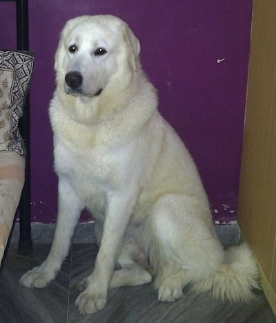 Bee the white Caucasian Shepherd Dog is sitting in between a bed and a dresser
