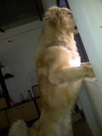 Michael the Caucasian Shepherd Dog is jumped up at a window sill and looking out of the window