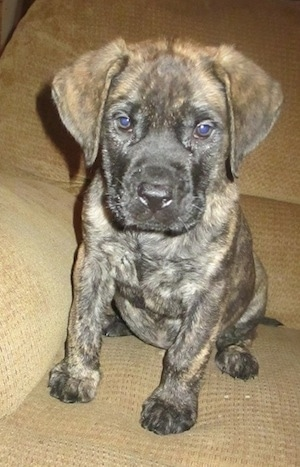 Close up front view - A brown with black brindle Saint Bermastiff puppy is sitting on a tan couch and it is looking forward.