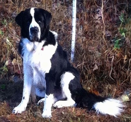 Front side view - A large breed, black and white Saint Bernewfie dog is sitting in brown grass and it is looking forward.