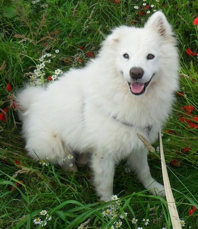 A white Samoyed is sitting in flattened grass, it is looking up, its mouth is open and it looks like it is smiling. One of its ears is up and the other is folded over to the front.