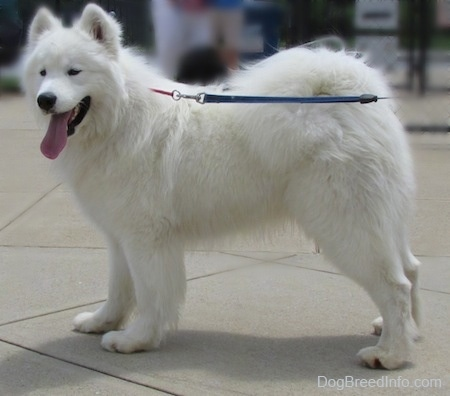 The left side of a white Samoyed dog that is standing across a concrete surface. Its mouth is open and its tongue is hanging out.