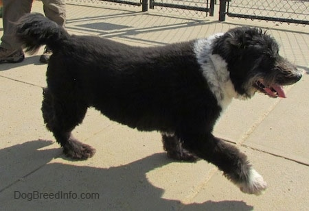 The right side of a black with white Schapendoes dog that is walking across a concrete surface and it is panting. Behind it there is a chain link fence. The dog's front paw is up in the air.