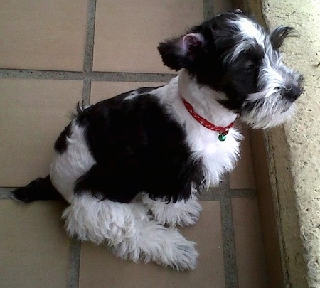 Side view - A black and white Schnoodle is sitting on a brick tiled floor and it is looking to the right over a ledge. Its coat is groomed short with longer hair on its face and legs.