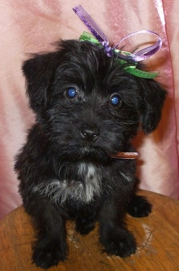 Front view - A black with white Scorkie puppy is sitting on a round wooden stool and there is a pink backdrop behind it. It has a purple and green ribbon in its head.