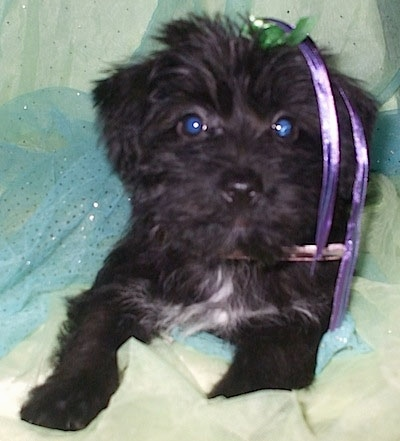 Close up - A black with white Scorkie puppy is laying in a blanket, it has a purple and green ribbon in its hair and there is a blue frill inside of the blanket.