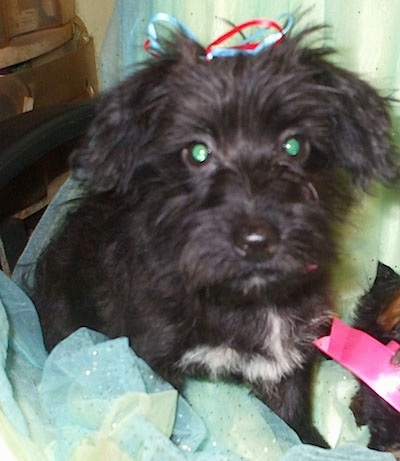 Black Yorkshire Terrier Mix Is a yorkie / scottie mix.