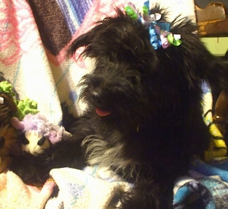 Close up front view - A black with white Scorkie puppy is laying across a blanket and it is looking to the left. It has frilly ribbons in its hair.
