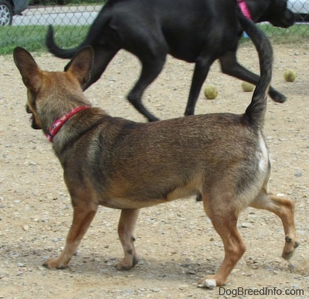 The back left side of a brown with tan and white Sheltie Pin dog that is walking across a dirt surface. Across from it is a larger black dog wearing a hot pink collar that is running to the right. Their are three tennis balls in the dirt.