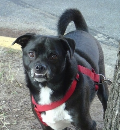 Close up front view - A black with white Sheltie Pug dog with a big underbite that shows its bottom white teeth standing in dirt looking forward with its tail curled up over its back. The dog is wearin a red harness. It is mostly black with a white chest.