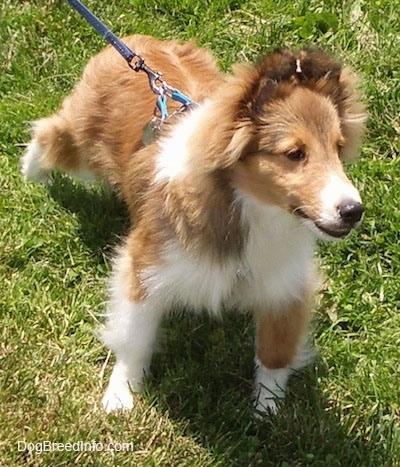 Top down view of a fluffy, brown with white Shetland Sheepdog puppy looking to the right and its mouth is slightly open.