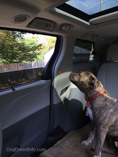 A blue-nose Brindle Pit Bull Terrier is sitting on a dog bed and he is looking out an open window in the middle area of a Toyota Sienna minivan that has the middle seats removed.