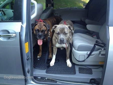 A brown brindle Boxer and a blue-nose Brindle Pit Bull Terrier are standing in the middle of a gray Sienna minivan vehicle looking out the open sliding door.