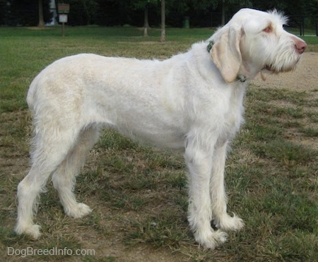 Right Profile - A white with tan Spinone Italiano is standing across the outfield of a baseball field. It is looking to the right. It has longer hair on its snout, a brown nose, brown eyes and shaggy looking fur on its legs.
