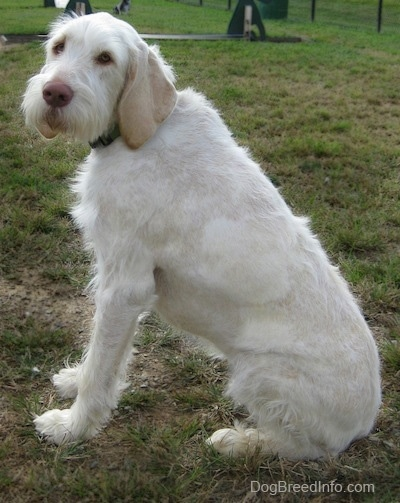 The left side of a white with tan Spinone Italiano dog that is sitting in patchy grass and it is looking forward.