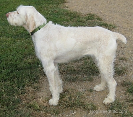 Left Profile - A white with tan Spinone Italiano dog is standing in patchy grass and it is looking to the left.