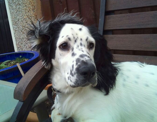 Sprocker Spaniel Dog Breed Information And Pictures