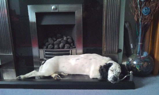 Side view - A white with black Sprocker Spaniel is sleeping across a surface in front of a fireplace. It has black ears and a white body with black spots on it.