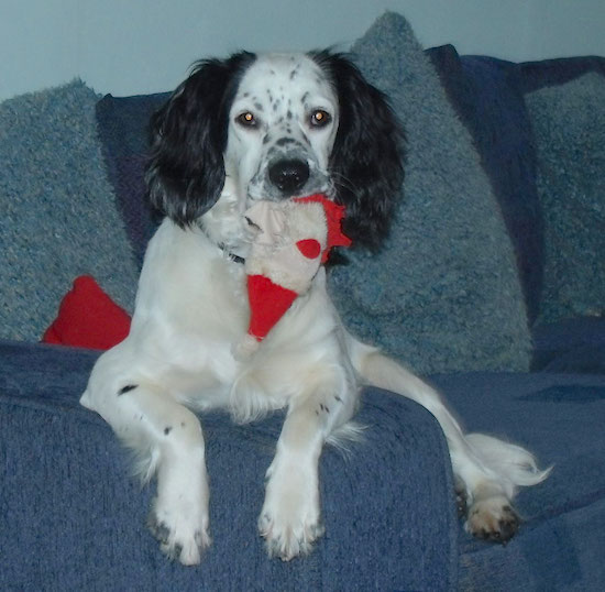 Front view - A white with black Sprocker Spaniel dog laying on a blue couch and it has a santa hat in its mouth. It has a white body with black ears. There are black spots on its white areas.