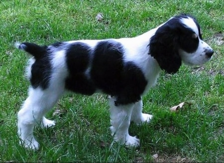 The Right Side Of A Black And White With Tan Sprocker Spaniel Puppy Standing In Gr