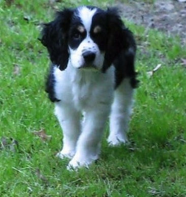 Front View A Wavy Coated Black And White With Tan Sprocker Spaniel Puppy
