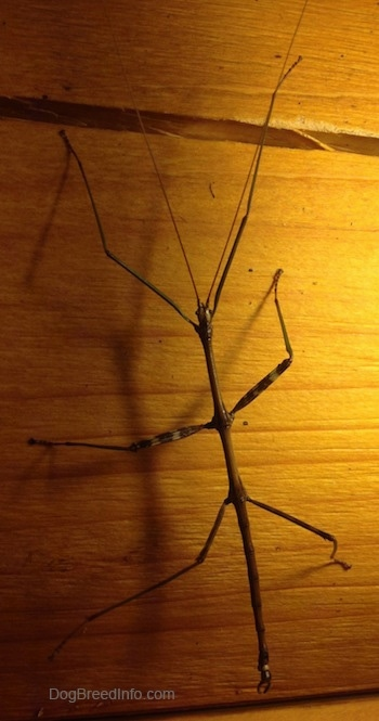 Close up - A thin stick insect is climbing up the side of a wall.
