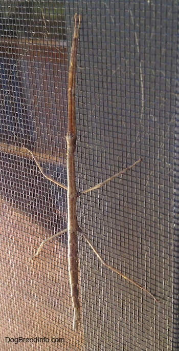 Close up - A stick insect is climbing up a window screen.
