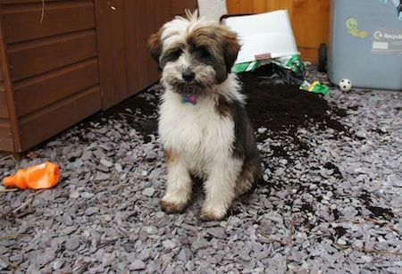 Tibetan Terrier Dog Breed Information