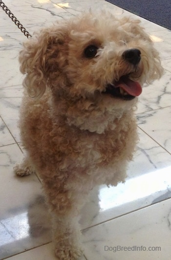 Front view - A small tan Toy Poodle dog standing on a marble tiled surface, it is looking up and to the right and it looks like it is smiling.